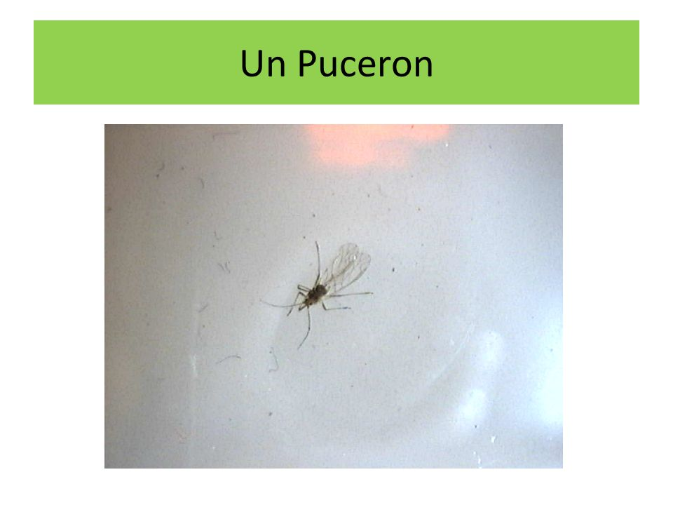 Un Puceron