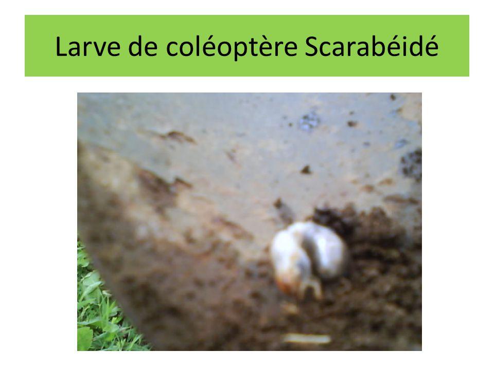 Larve de coléoptère Scarabéidé