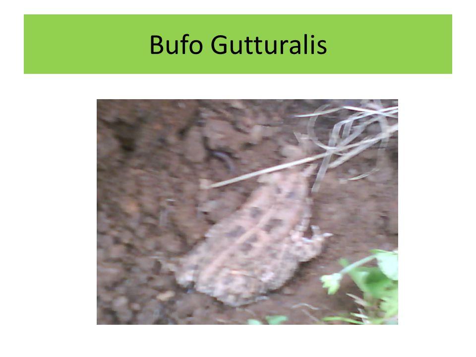 Bufo Gutturalis