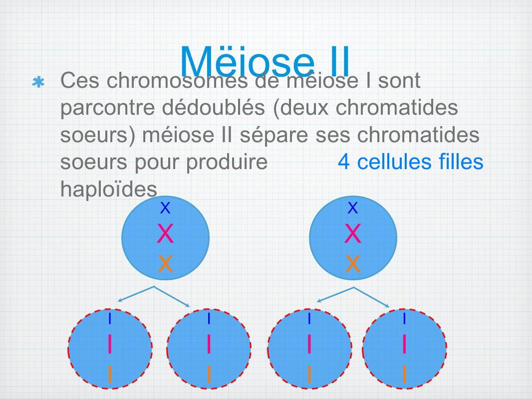 Mëiose II Ces chromosomes de mëiose I sont parcontre dédoublés (deux chromatides soeurs) méiose II sépare ses chromatides soeurs pour produire 4 cellu