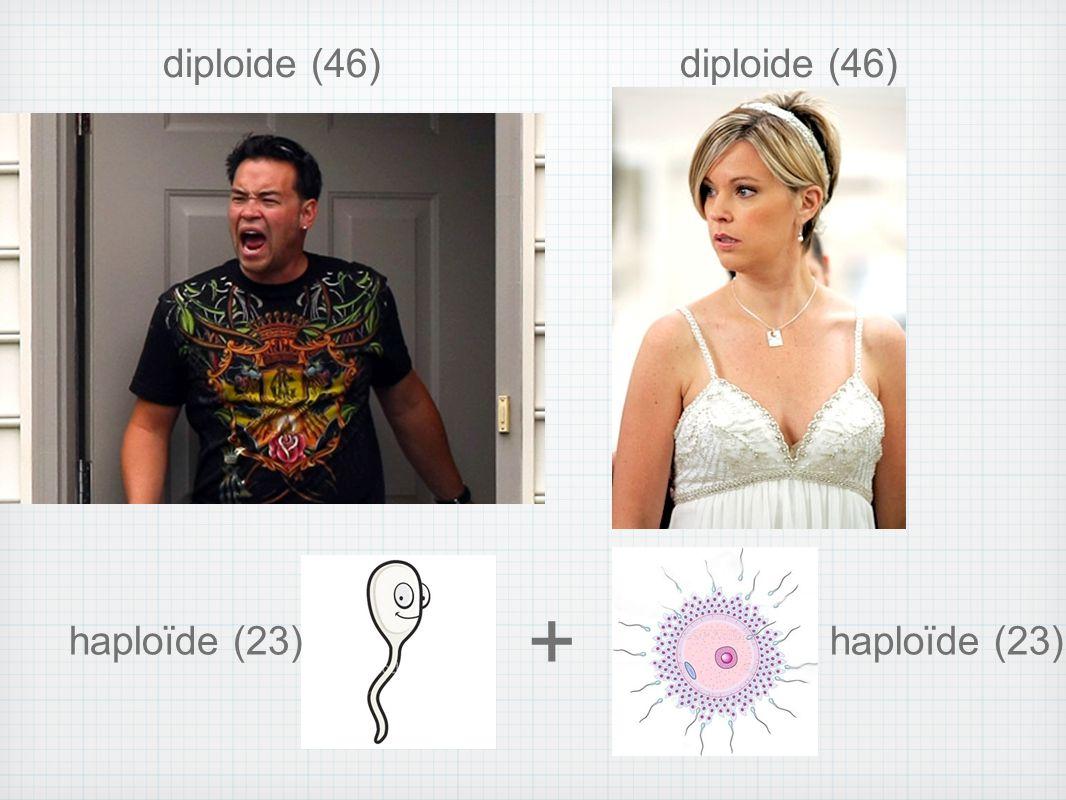 diploide (46) haploïde (23) +