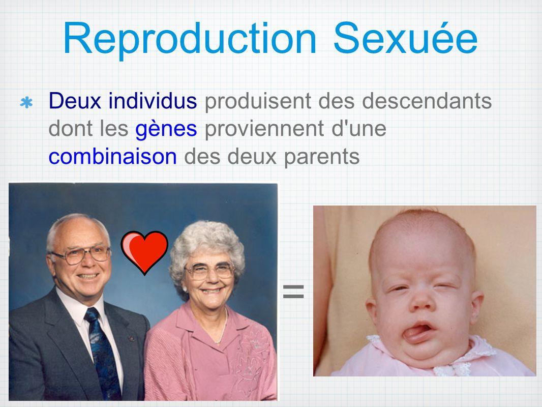 Chez les animaux, la reproduction sexuée s effectue par la fusion de deux gamètes (haploïdes), qui forment un zygote (diploïde).