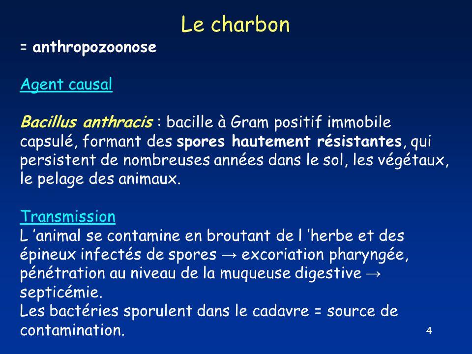 4 Le charbon = anthropozoonose Agent causal Bacillus anthracis : bacille à Gram positif immobile capsulé, formant des spores hautement résistantes, qu