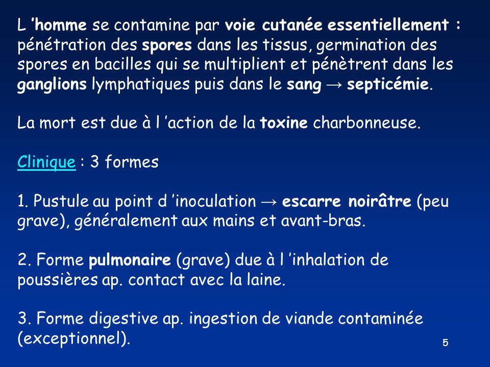 5 L 'homme se contamine par voie cutanée essentiellement : pénétration des spores dans les tissus, germination des spores en bacilles qui se multiplie