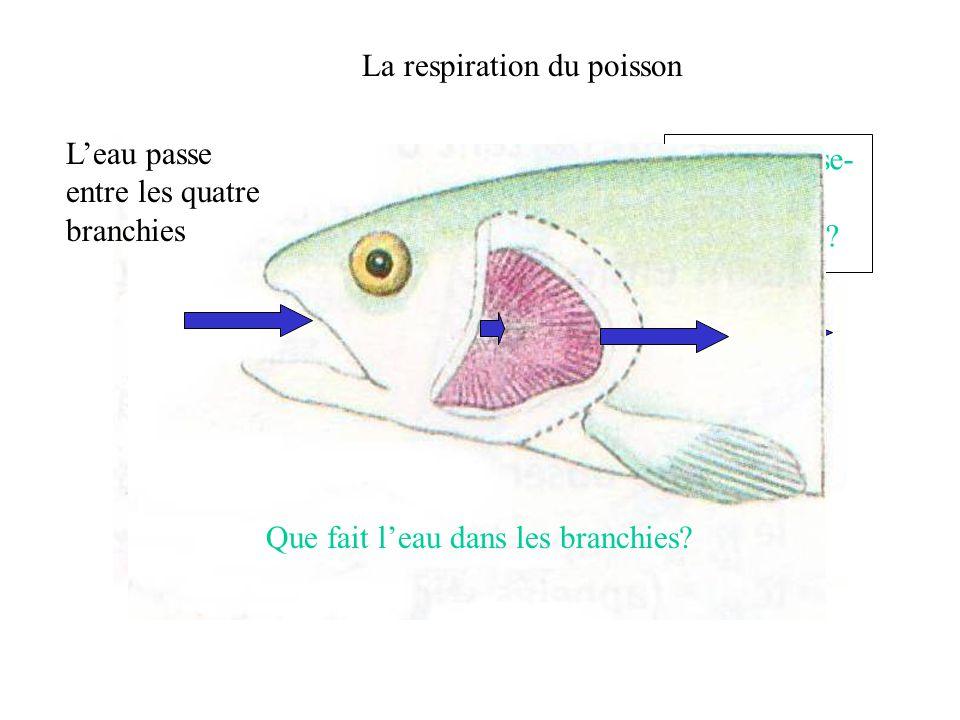 La respiration du poisson L'eau passe entre les lames branchiales Lames branchiales Deux lames branchiales la surface d'échange est donc doublée, allons voir de plus près!