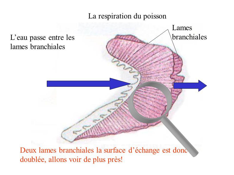 La respiration du poisson Chaque lame est formée d'une multitude de filaments qui augmentent la surface d'échange entre l'eau et le sang.