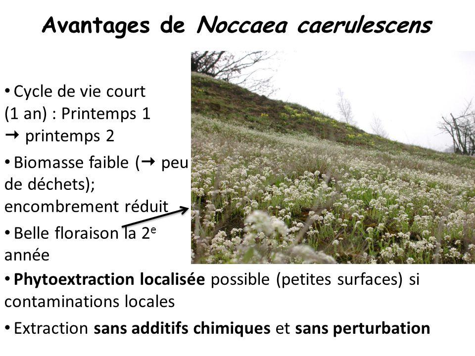 Avantages de Noccaea caerulescens Cycle de vie court (1 an) : Printemps 1  printemps 2 Biomasse faible (  peu de déchets); encombrement réduit Belle