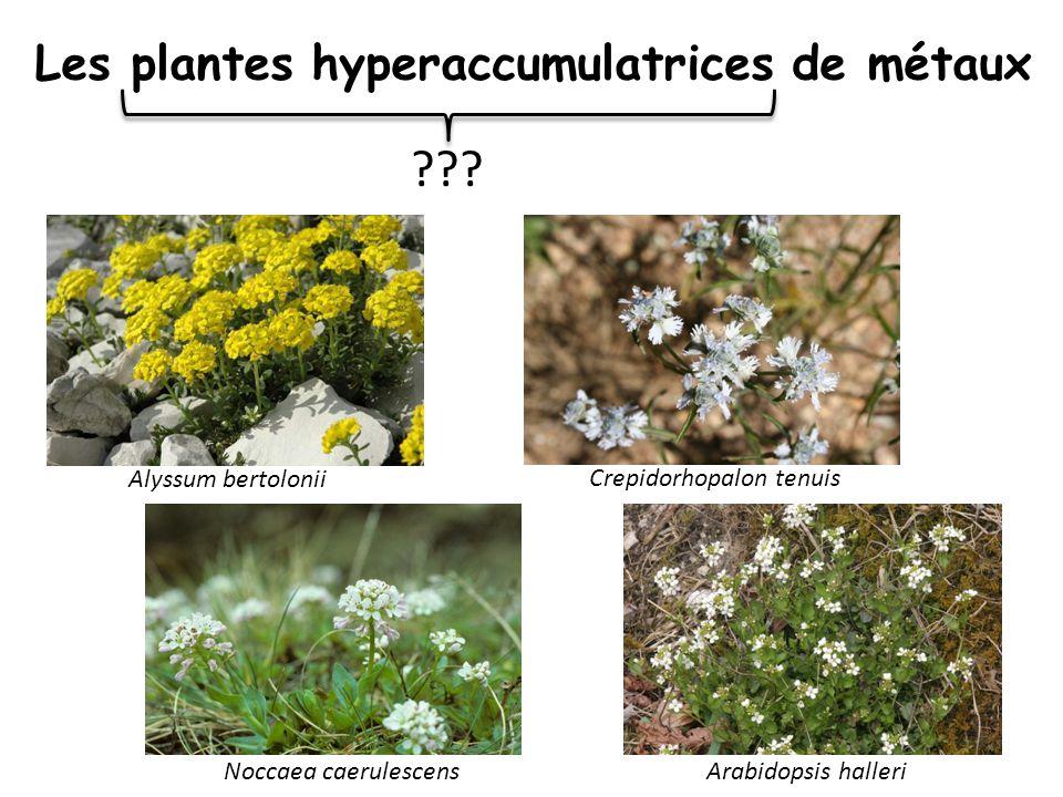 Concentrations dans les feuilles (µg/g) PLANTES NORMALES HYPERACCUMULATRICES facteur multiplicatif Cadmium0> 100 Zinc20-50> 10 000200-500 Nickel5-10> 1 000100-200 Cuivre1-5> 30060-300 Manganèse10-20> 10 000500-1000 … Les plantes hyperaccumulatrices de métaux Taiz & Zeiger 2005, Krämer 2010 Plomb?