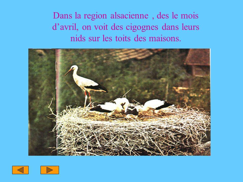 Dans la region alsacienne, des le mois d'avril, on voit des cigognes dans leurs nids sur les toits des maisons.