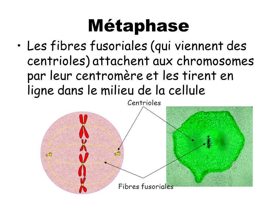 Métaphase Les fibres fusoriales (qui viennent des centrioles) attachent aux chromosomes par leur centromère et les tirent en ligne dans le milieu de la cellule Centrioles Fibres fusoriales