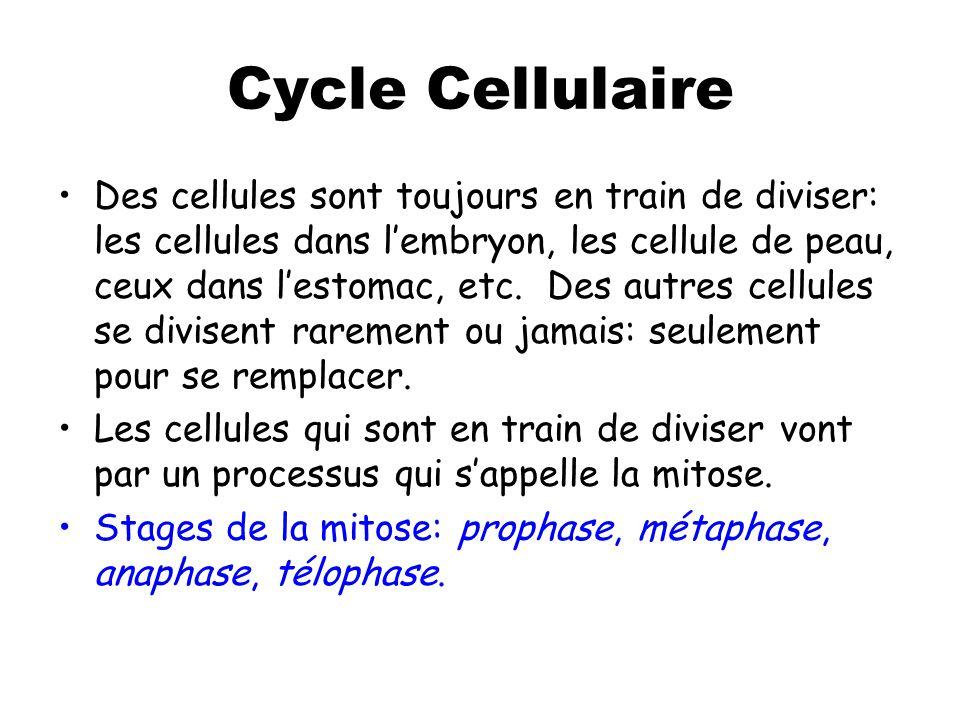 Interphase Interphase n'est PAS une phase de la mitose, c'est l'étape avant que la mitose commence.