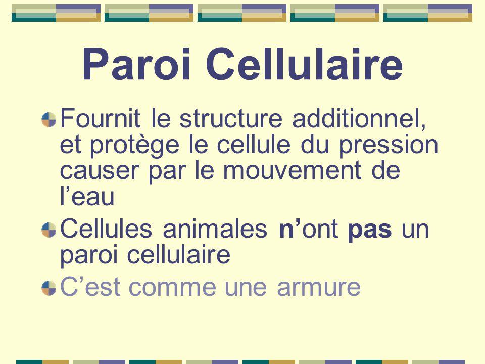 Paroi Cellulaire Fournit le structure additionnel, et protège le cellule du pression causer par le mouvement de l'eau Cellules animales n'ont pas un paroi cellulaire C'est comme une armure