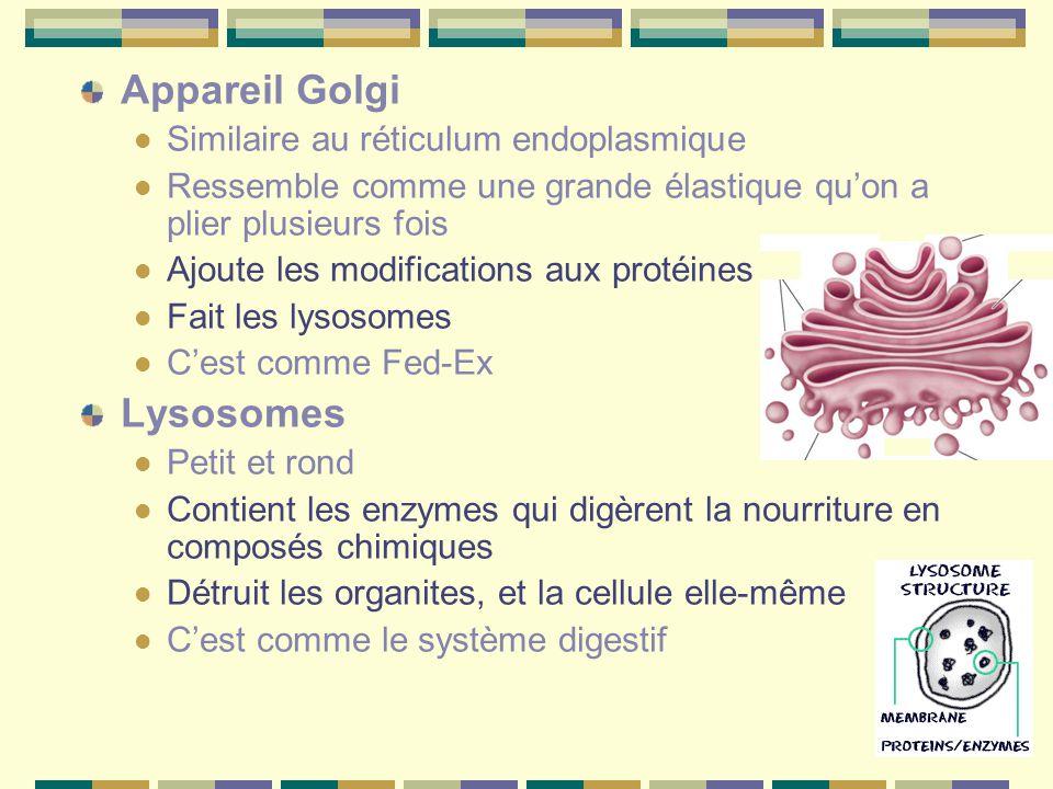 Appareil Golgi Similaire au réticulum endoplasmique Ressemble comme une grande élastique qu'on a plier plusieurs fois Ajoute les modifications aux protéines Fait les lysosomes C'est comme Fed-Ex Lysosomes Petit et rond Contient les enzymes qui digèrent la nourriture en composés chimiques Détruit les organites, et la cellule elle-même C'est comme le système digestif