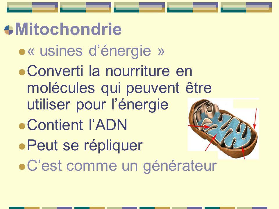 Mitochondrie « usines d'énergie » Converti la nourriture en molécules qui peuvent être utiliser pour l'énergie Contient l'ADN Peut se répliquer C'est comme un générateur