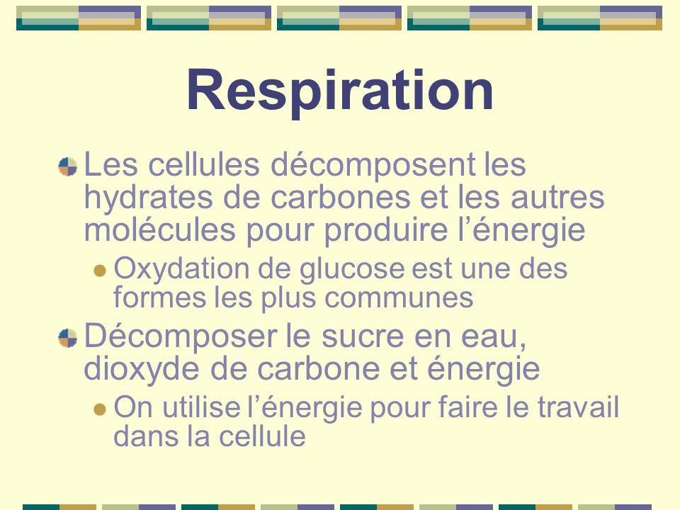 Respiration Les cellules décomposent les hydrates de carbones et les autres molécules pour produire l'énergie Oxydation de glucose est une des formes les plus communes Décomposer le sucre en eau, dioxyde de carbone et énergie On utilise l'énergie pour faire le travail dans la cellule