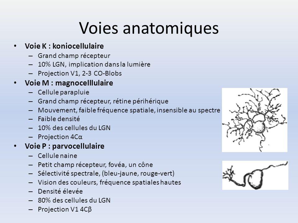 Voies anatomiques Voie K : koniocellulaire – Grand champ récepteur – 10% LGN, implication dans la lumière – Projection V1, 2-3 CO-Blobs Voie M : magno
