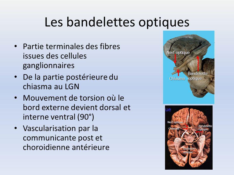 Les bandelettes optiques Partie terminales des fibres issues des cellules ganglionnaires De la partie postérieure du chiasma au LGN Mouvement de torsi