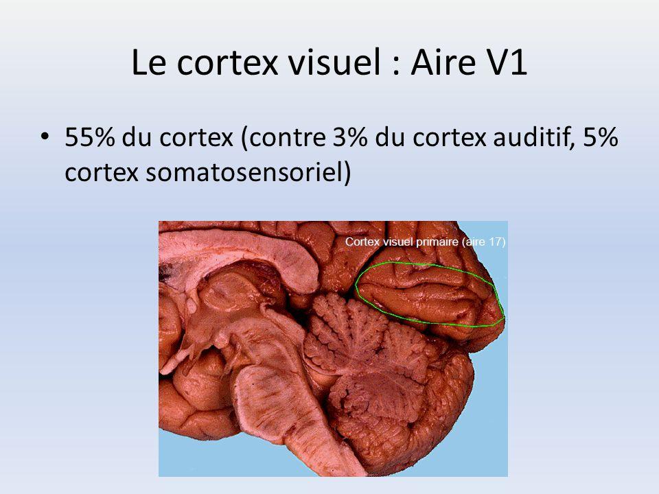 Le cortex visuel : Aire V1 55% du cortex (contre 3% du cortex auditif, 5% cortex somatosensoriel)