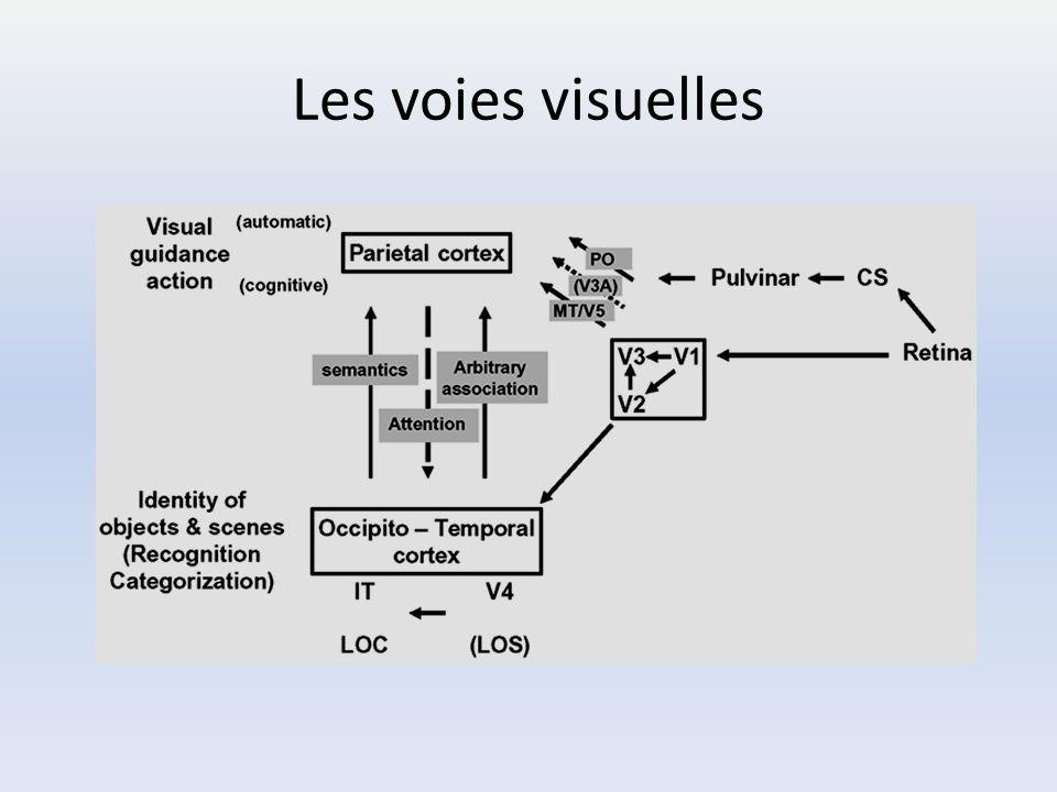 Les voies visuelles