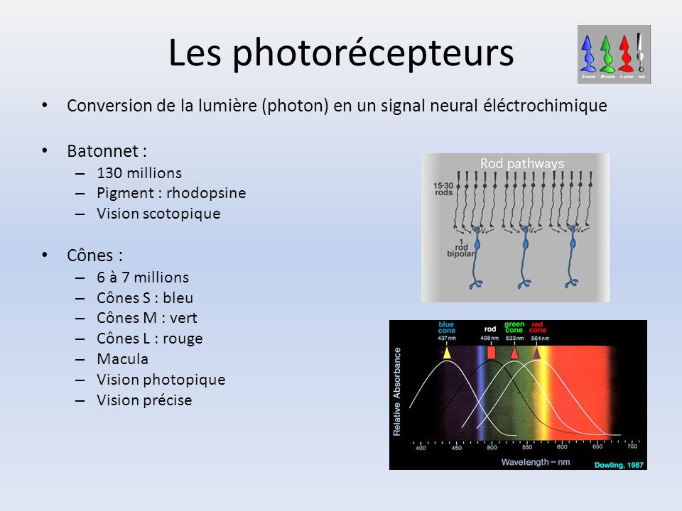 Les photorécepteurs Conversion de la lumière (photon) en un signal neural éléctrochimique Batonnet : – 130 millions – Pigment : rhodopsine – Vision sc