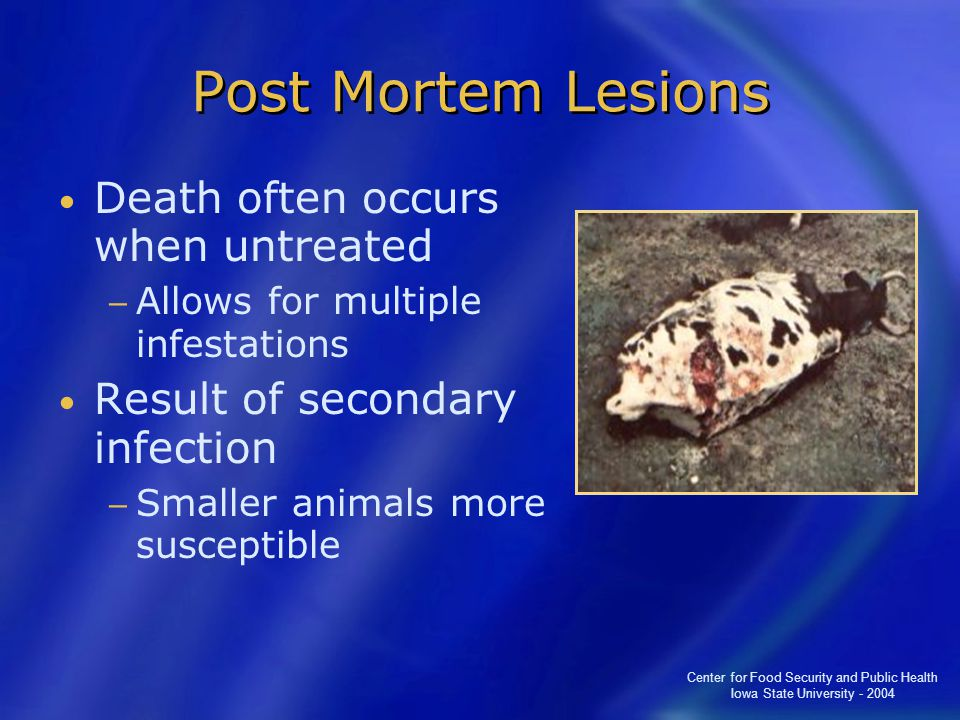 Center for Food Security and Public Health Iowa State University - 2004 Post Mortem Lesions Death often occurs when untreated − Allows for multiple infestations Result of secondary infection − Smaller animals more susceptible