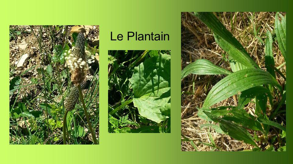 Le Plantain Plantago Propriétés : bactéricide, hémostatique,anti-inflammatoire et antiallergique en O.R.L.