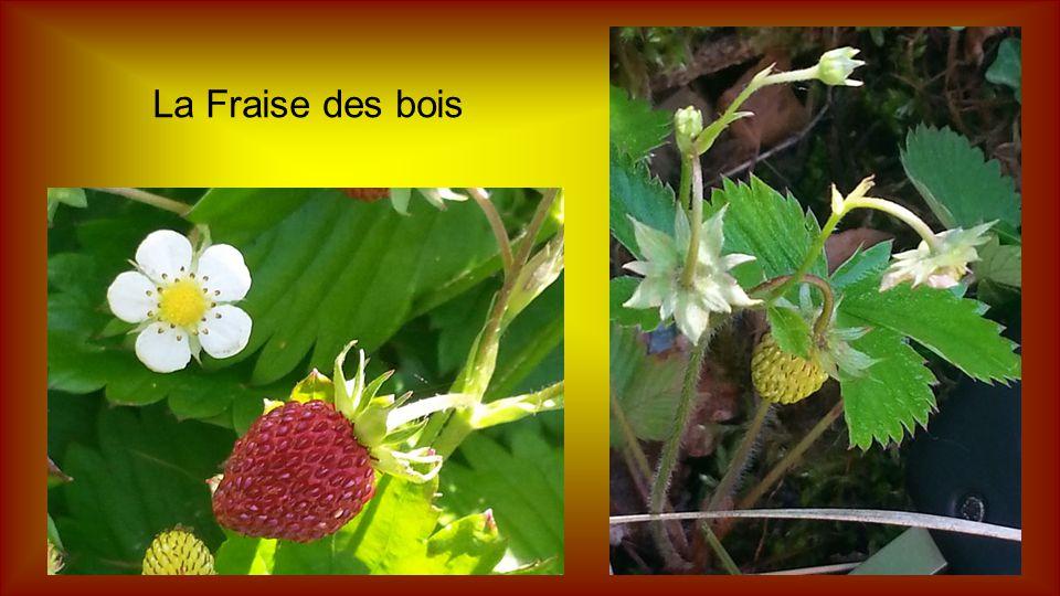 Fraise des bois Fragaria vesca Les feuilles riches en tanins, silice et sels minéraux sont très riches en vitamines C.