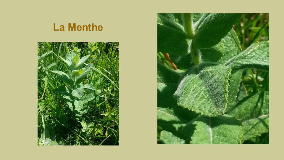 Menthe Mentha Propriétés : digestive, spasmolitique, antiseptique, stimulante. Les feuilles séchées s'utilisent en tisane.