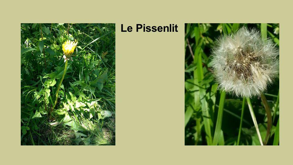 Pissenlit Taraxacum dents de lion On utilise les feuilles et les racines comme dépuratif … - En infusion - En salade.