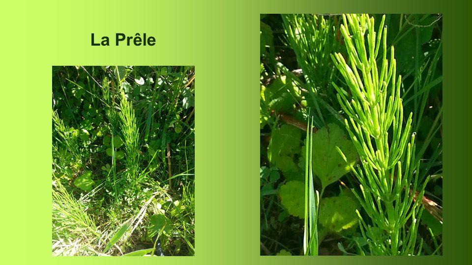 Prêle Equisetum arvense Queue de rat, de renard ou de cheval … On utilise les tiges en poudre ou en décoction. Effet reminéralisant et diurétique.