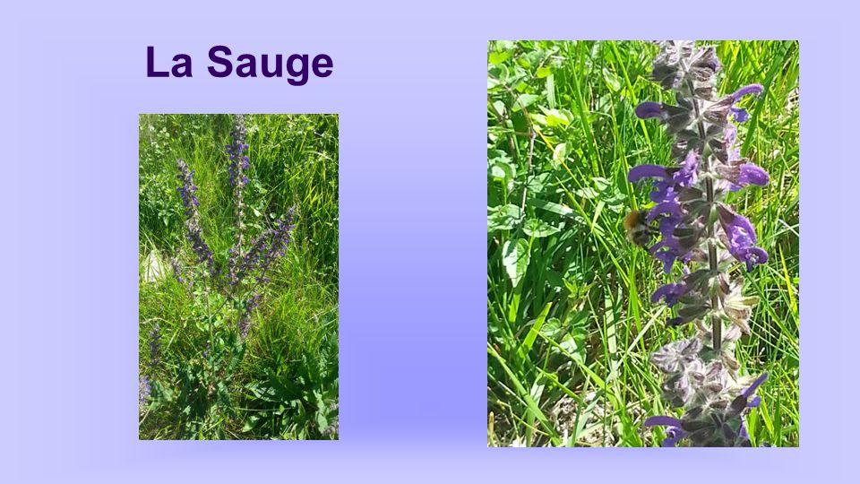 Sauge Salvia autres noms: Herbe sacrée, thé d'Europe… Propriétés: antiseptique, stimulante, antispasmodique. On utilise les feuilles en tisane pour fa
