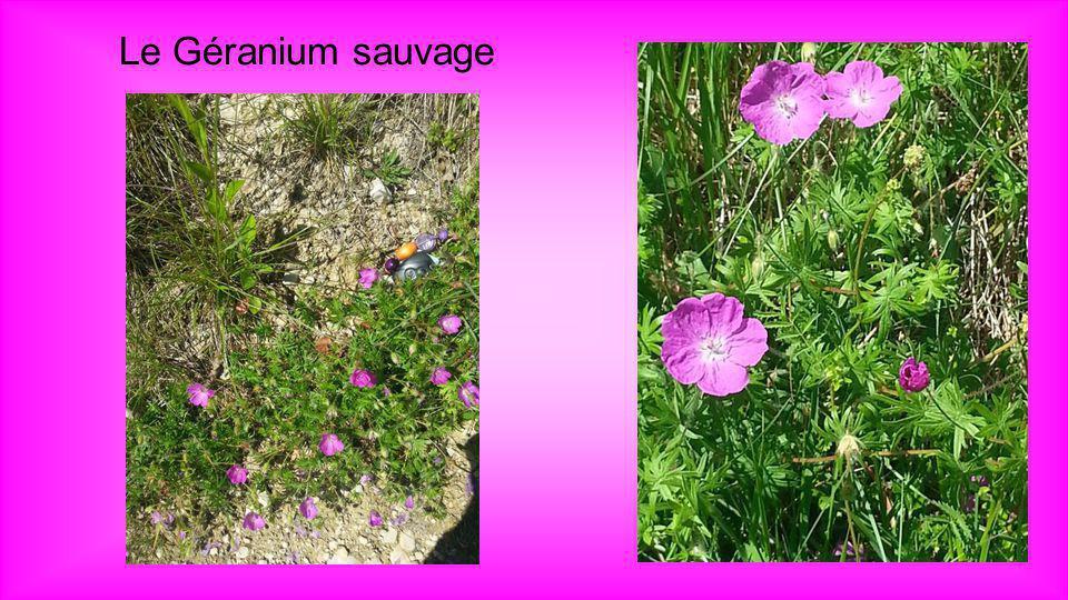 Géranium sauvage Geranium dissectum Dans ce géranium on trouve du tanin, vitamine C, huile essentielle et résine. Propriétés : cicatrisante, tonique,
