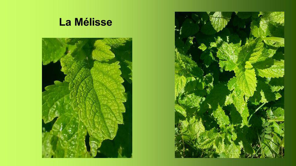 Mélisse Melissa officinalis.Mélisse citronnelle. Plante mellifère.