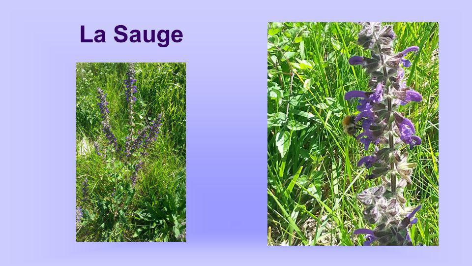 Sauge Salvia autres noms: Herbe sacrée, thé d'Europe… Propriétés: antiseptique, stimulante, antispasmodique.