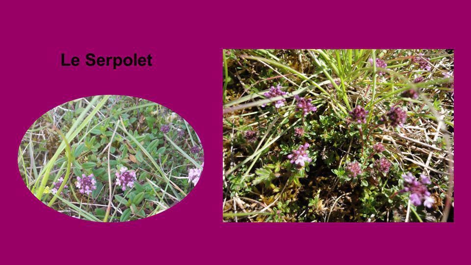 SERPOLET Thymus serpyllium.Thym serpolet Plante mellifère. Propriétés : antiseptique et digestive. S'utilise en infusion pour bains de bouche et inhal