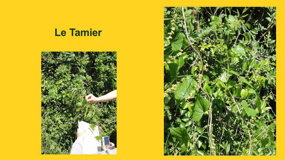 Tamier Tamus communis.Herbe aux femmes battues.