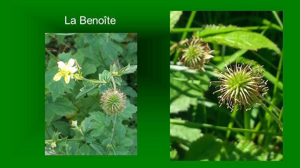 Benoîte Geum urbanum Ses feuilles et son rhizome sont astringents et vulnéraires du fait de l huile essentielle, et du tanin qu elles contiennent.