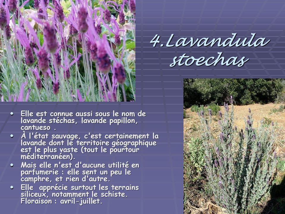 4.Lavandula stoechas  Elle est connue aussi sous le nom de lavande stéchas, lavande papillon, cantueso.  À l'état sauvage, c'est certainement la lav