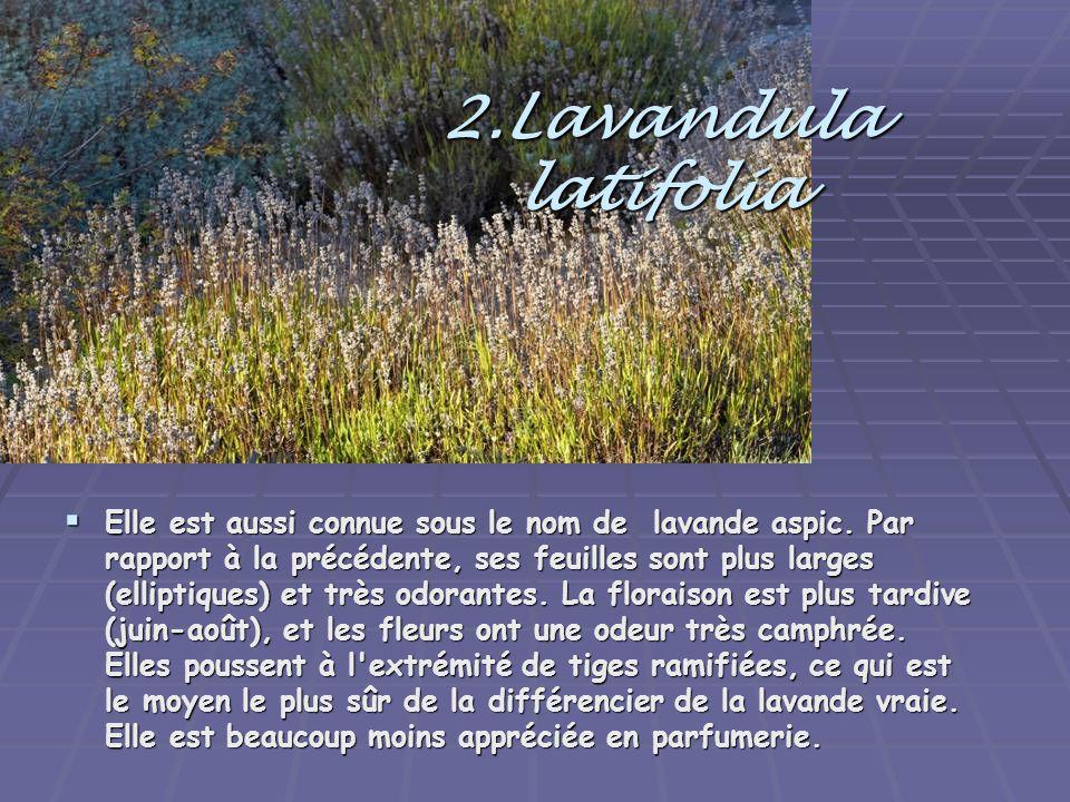 2.Lavandula latifolia  Elle est aussi connue sous le nom de lavande aspic. Par rapport à la précédente, ses feuilles sont plus larges (elliptiques) e