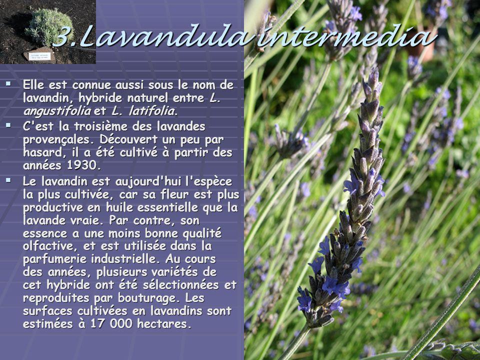 3.Lavandula intermedia  Elle est connue aussi sous le nom de lavandin, hybride naturel entre L. angustifolia et L. latifolia.  C'est la troisième de