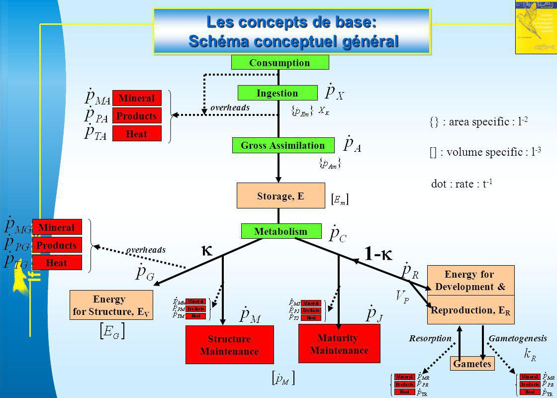 l f r e m e r Energy for Structure, E V Products Reproduction, E R Gametes Structure Maintenance Maturity Maintenance  1-  Ingestion Gross Assimilat