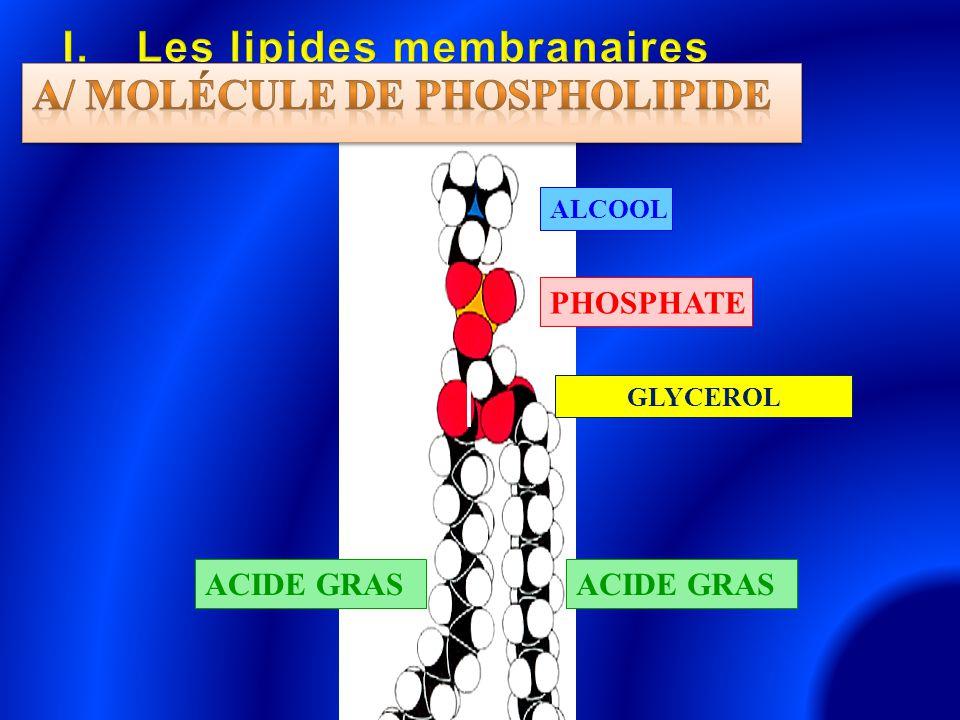 GLYCEROL ACIDE GRAS PHOSPHATE ALCOOL