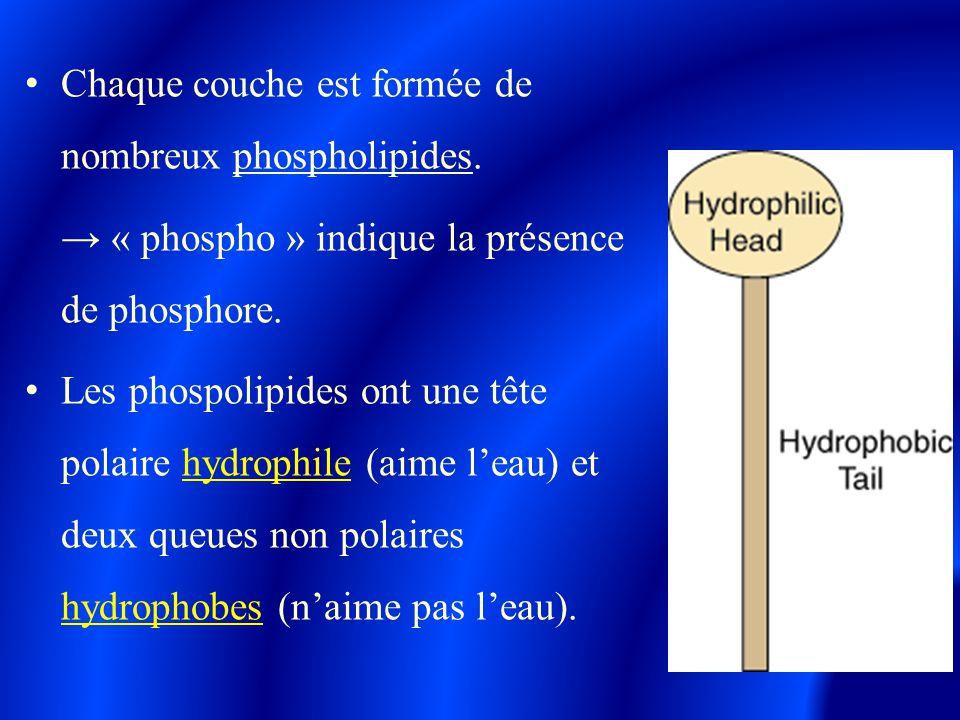 Chaque couche est formée de nombreux phospholipides. → « phospho » indique la présence de phosphore. Les phospolipides ont une tête polaire hydrophile