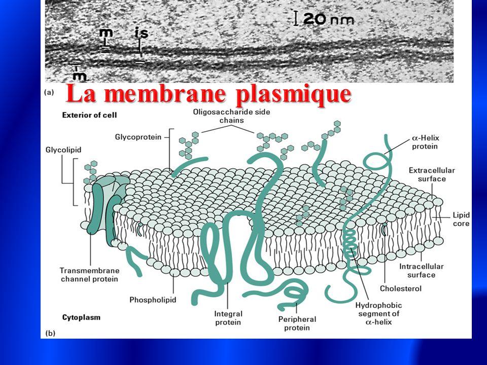 Représentent 60% du poids total des membranes.