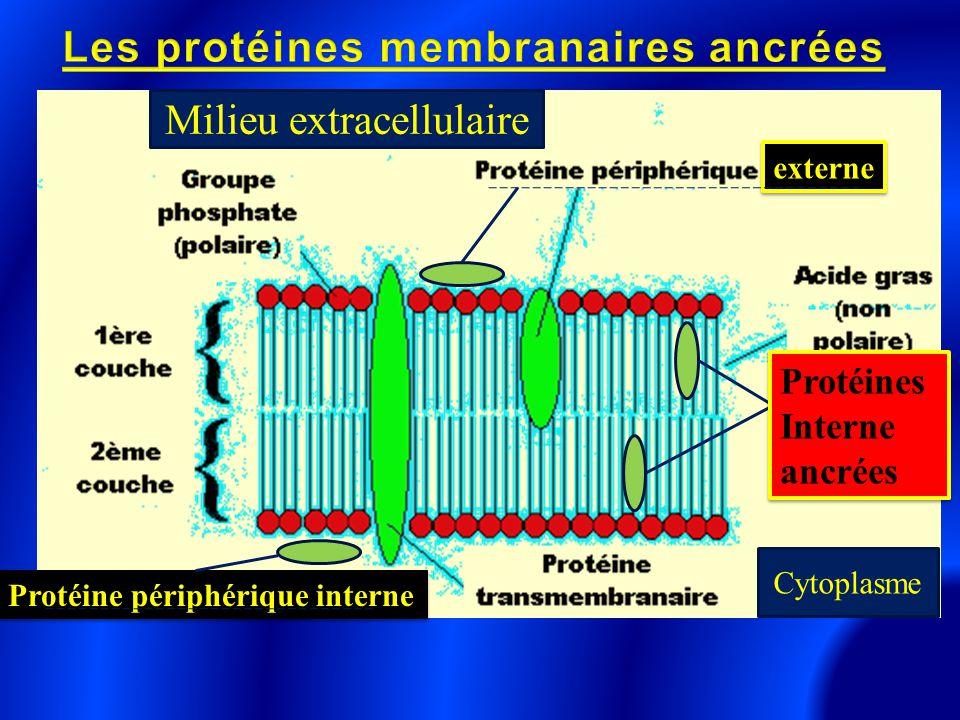 Protéines Interne ancrées Protéines Interne ancrées externeexterne Protéine périphérique interne Cytoplasme Milieu extracellulaire