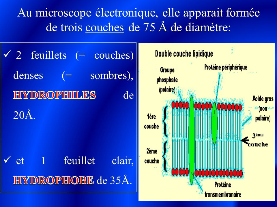 Au microscope électronique, elle apparait formée de trois couches de 75 Å de diamètre: 3 ème couche