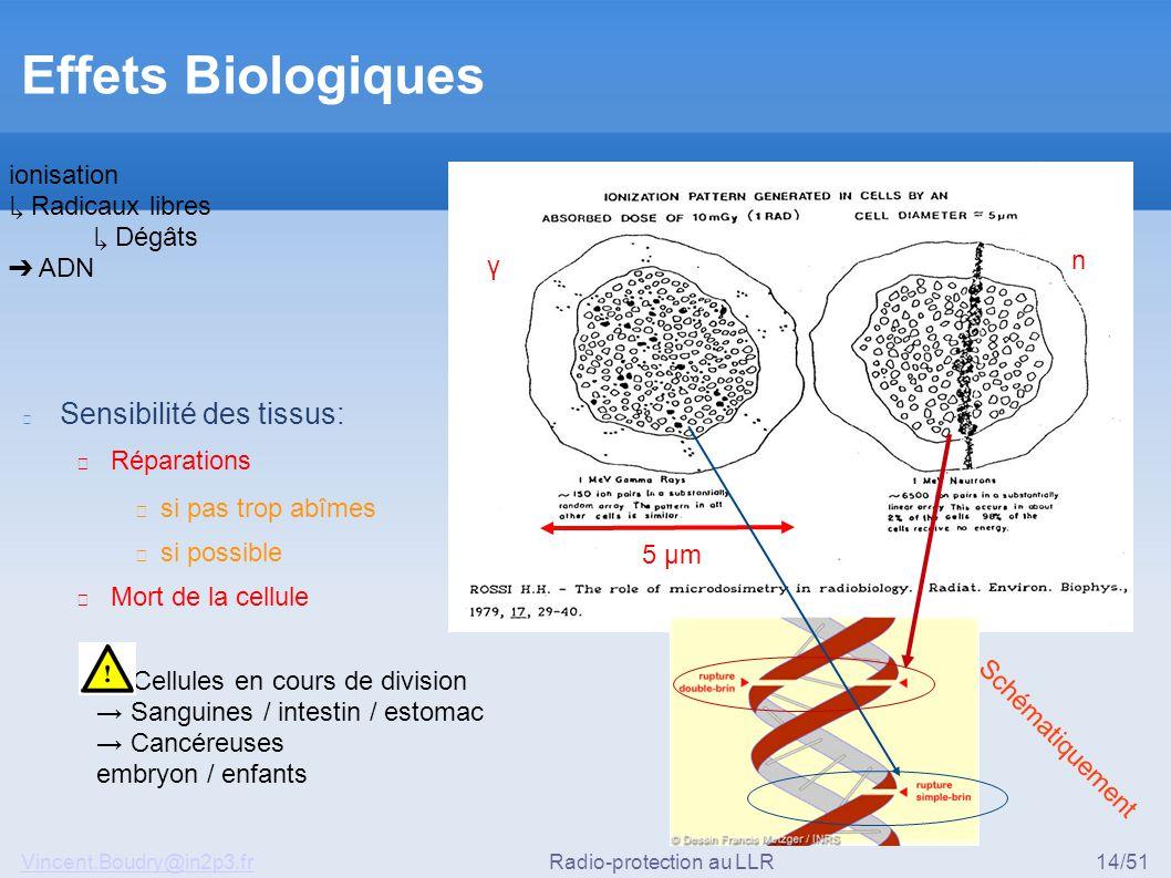 Vincent.Boudry@in2p3.frRadio-protection au LLR14/51 Effets Biologiques Sensibilité des tissus: ▶ Réparations ◆ si pas trop abîmes ◆ si possible ▶ Mort