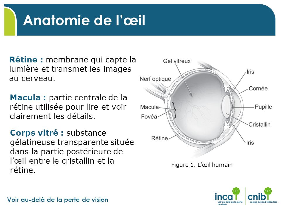 Voir au-delà de la perte de vision Anatomie de l'œil Rétine : membrane qui capte la lumière et transmet les images au cerveau. Macula : partie central