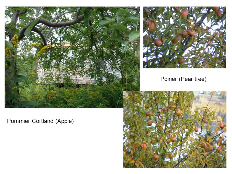 Poirier (Pear tree) Pommier Cortland (Apple)