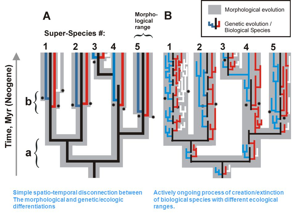 Simple spatio-temporal disconnection between The morphological and genetic/ecologic differentiations Actively ongoing process of creation/extinction of biological species with different ecological ranges.